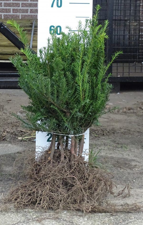 Taxus baccata 30/40