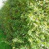 Carpinus betulus haag