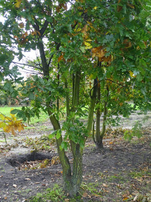 Quercus petraea MS