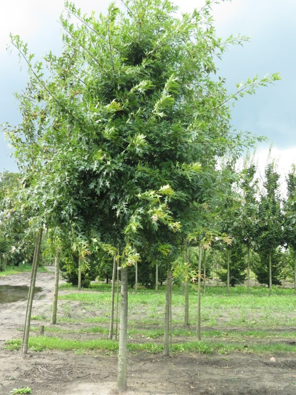 Quercus palustris 'Green Pyramid' (moeraseik)